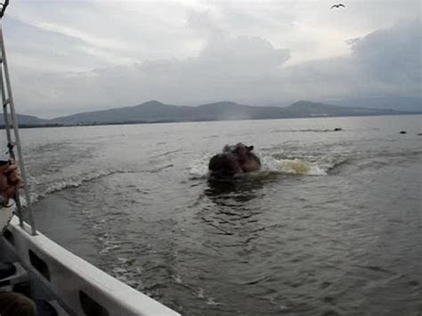 Hippo Chases Boat! Crazy! - YouTube