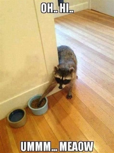 Sneaky Raccoon Pictures, Photos, and Images for Facebook