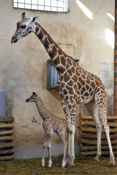 Got Legs? There's a New Baby Giraffe at Budapest Zoo