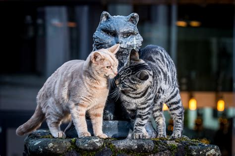 Famous Scotch whisky distillery cats - Scotsman Food and Drink